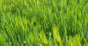 barley-grass-for-gout